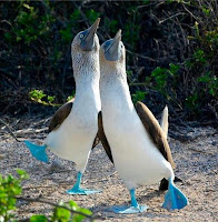 Blue Footed Boobies Dancing