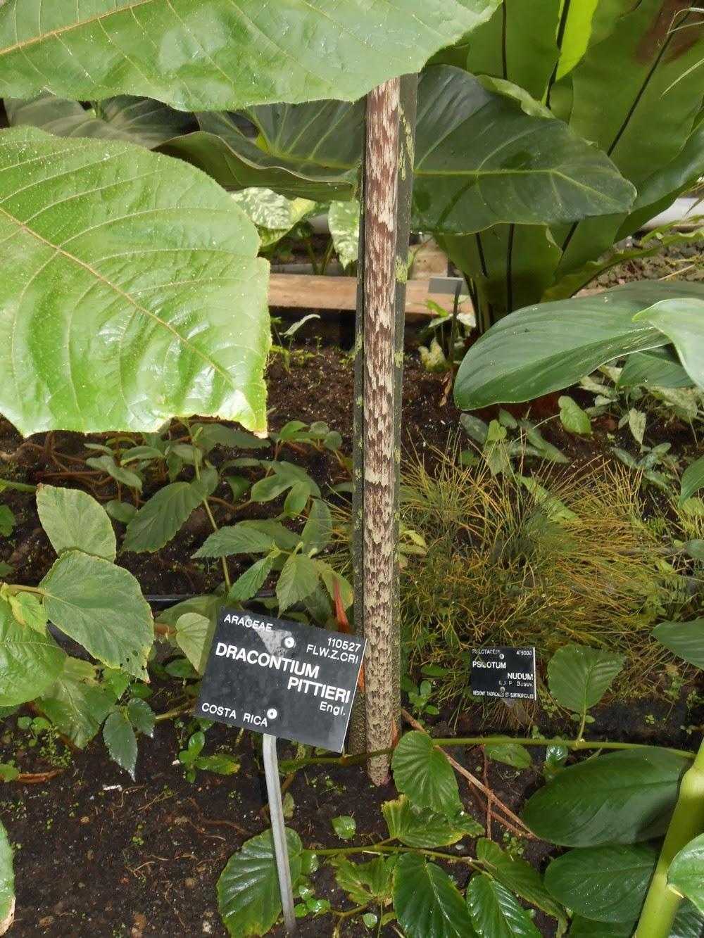 La tige du dracontium pittieri
