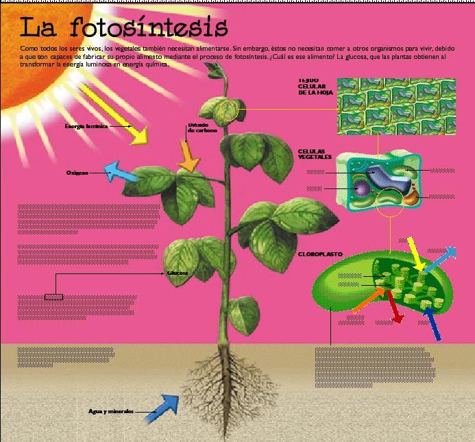 Fases de la fotosintesis wikipedia 78