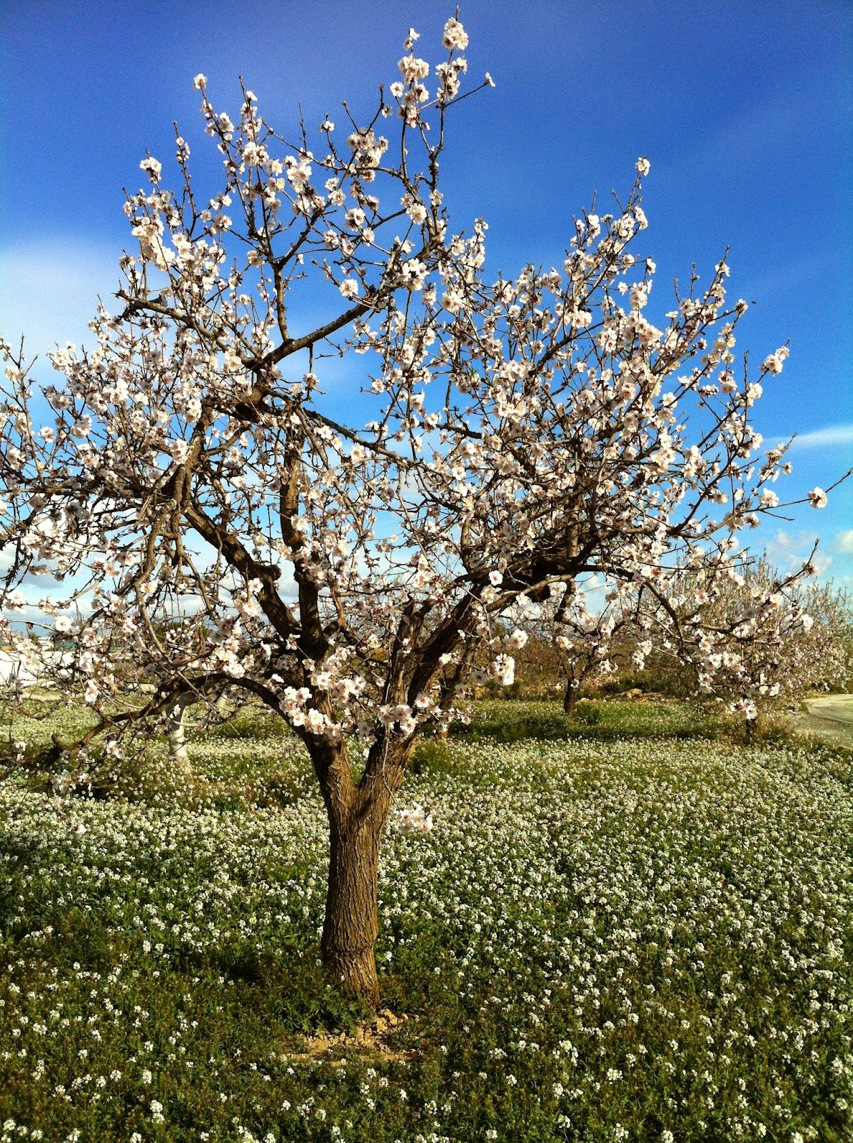 BLOSSOMING ALMOND TREEES