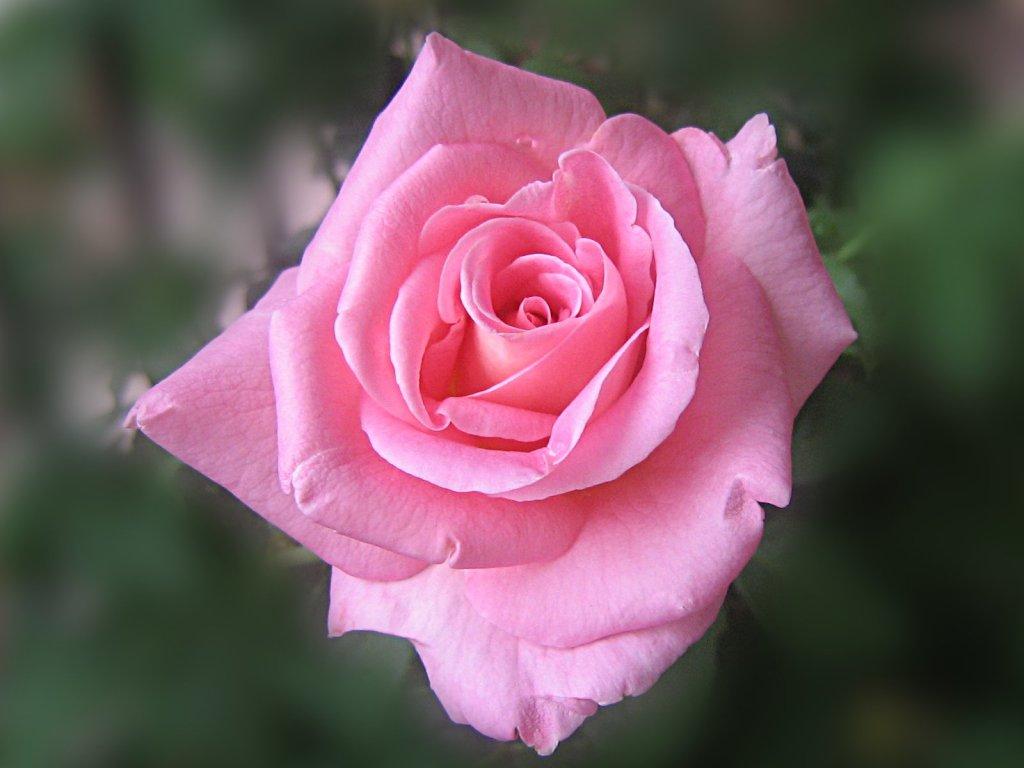 LAP TOP VALLEY: Pink Roses - Wallpaper