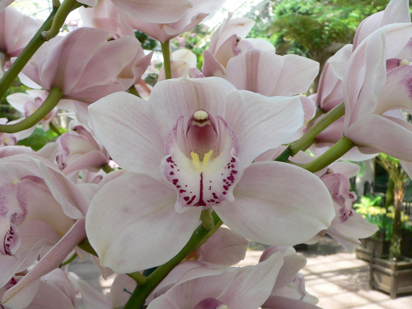 http://2.bp.blogspot.com/-H05-pm98rvI/Tf9_JwcD0FI/AAAAAAAAAVU/Fl42nMLyCuE/s1600/Cymbidium+Orchids+Flowers+Wallpapers+5.jpg