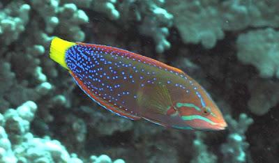 Yellowtail Coris, Kauai Snorkeling