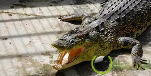 Buaya Kalimantan (Crocodylus raninus)