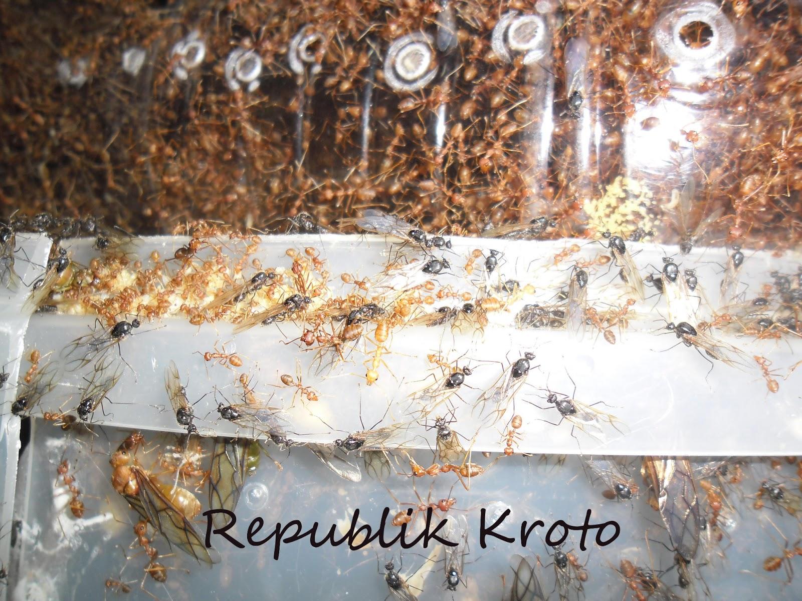 Republik Kroto Ternak Kroto Budidaya Semut Rangrang Di Toples