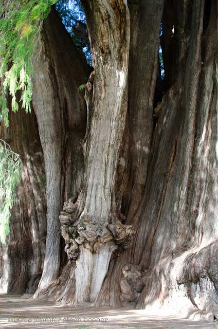 Taxodium mucronatum, Montezuma Cypress, Tule tree