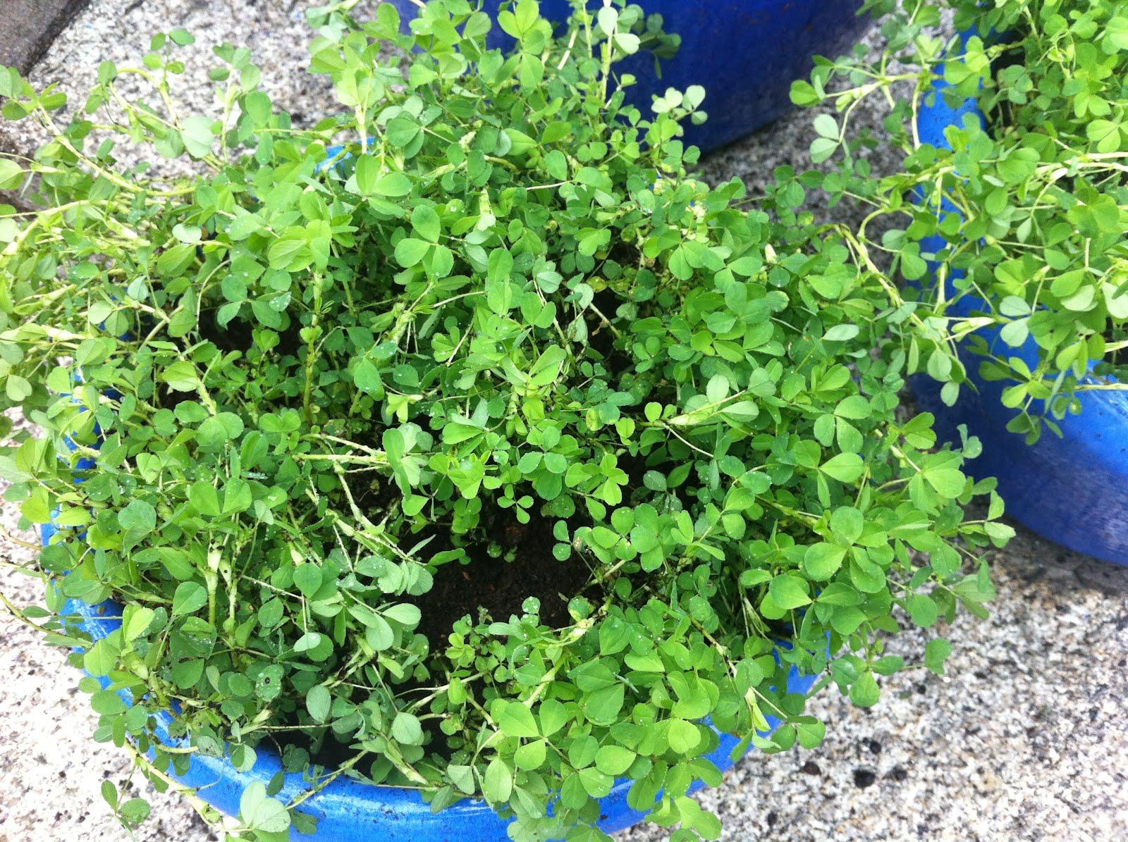 Irish clover plant - Shamrock indoor plant ...