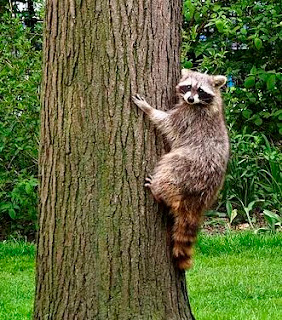 raccoon climbing a backyard tree