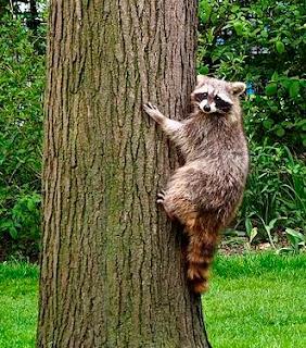 raccoon climbing a backyard tree