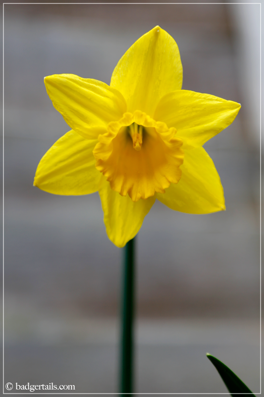 Single Daffodil flower
