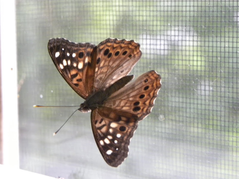 A HACKBERRY BUTTERFLY