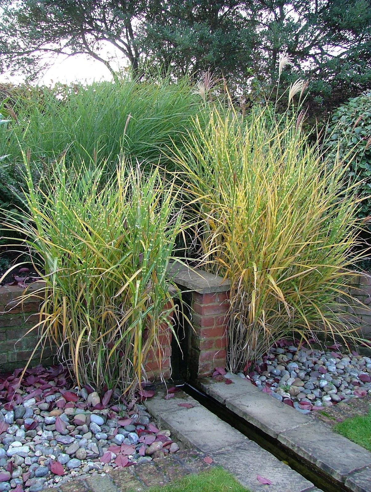 plant of the day plante du jour miscanthus gardens plants and design. Black Bedroom Furniture Sets. Home Design Ideas