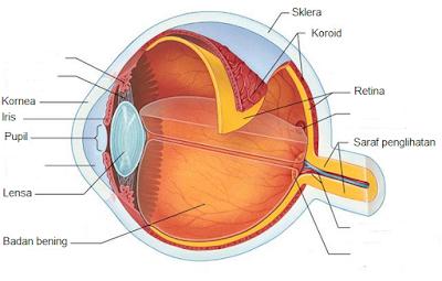 Alat indera penglihatan (mata) dan bagian-bagiannya