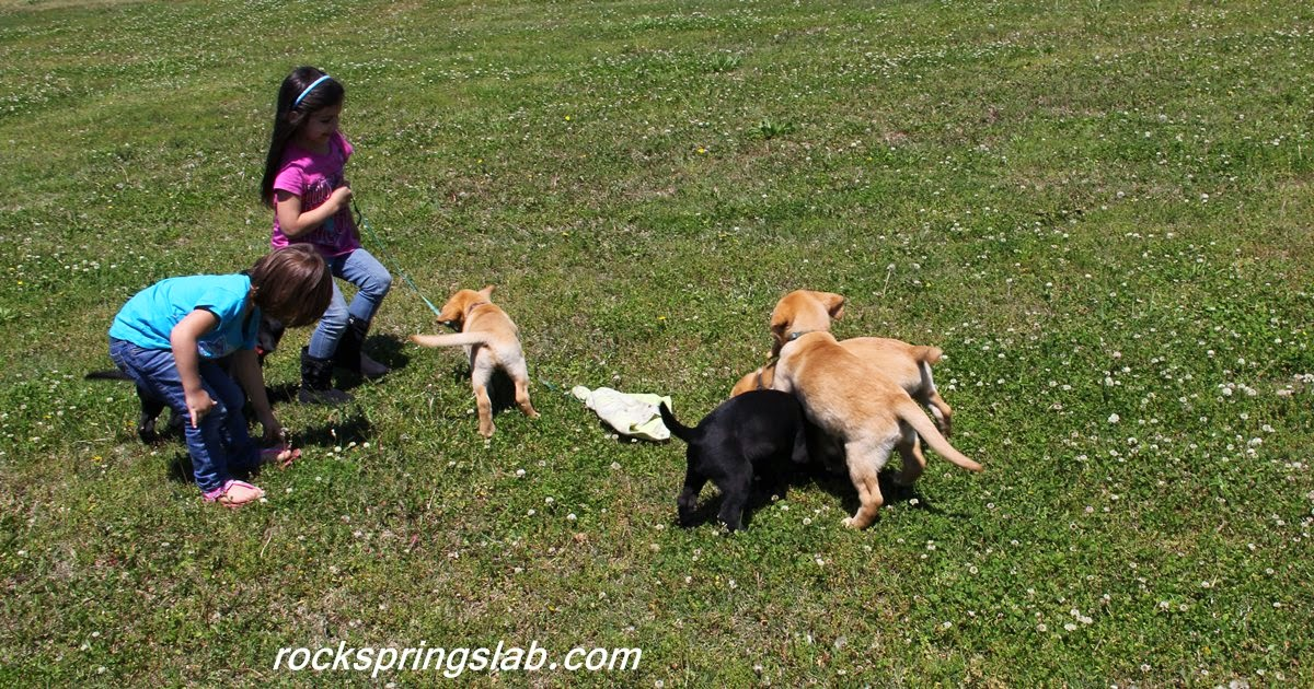 Best Reviews British Lab Puppies For Sale