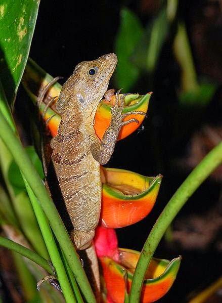Female jesus christ lizard (Basiliscus basiliscus)