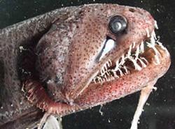 Dragon Fish - Hewan Teraneh 1