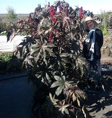 Vkusniogorod - Как вырастить клещевину 1