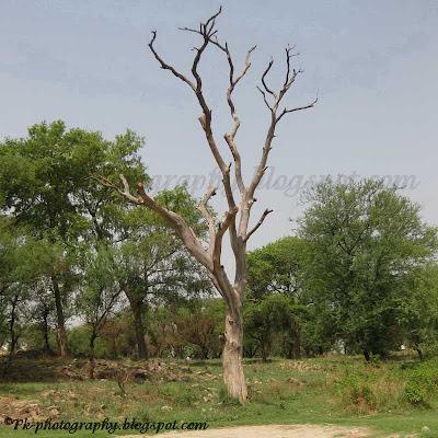 Dead Sissoo Tree