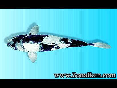 Macam jenis ikan koi tips peternakan budidaya dan for Koi 1 utama