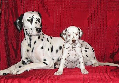 Dalmatian Photos