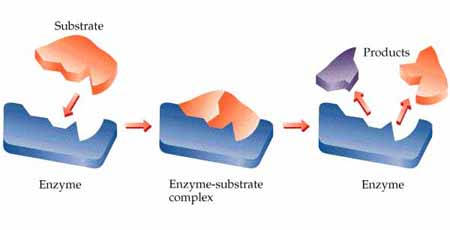 Drologi enzymes lock and key model ccuart Image collections