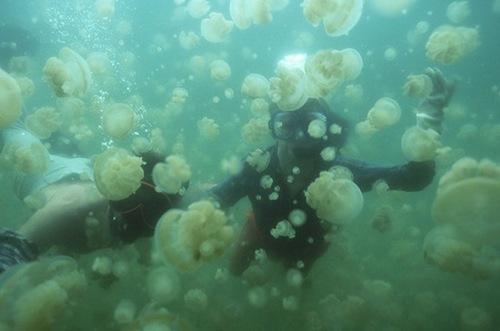 بالصور و الفيديو : بحيرة قناديل البحر فى جزيرة بالاو – اسبح مع ملاين القناديل دون أن تتعرض للإذى 11.jpg