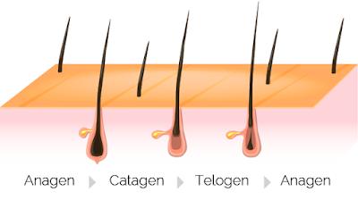 Zyklus von Haarwachstum und Informationen zum Follikel