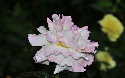 Rosas De Colores Imagenes - 7 imágenes de rosas con movimiento para celular