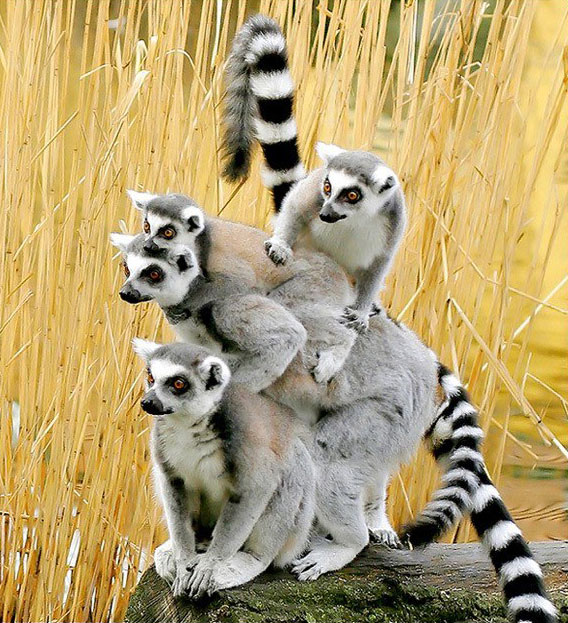 ring-tailed lemur family