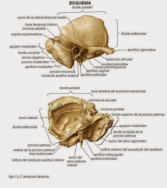 Anatomia y Fisiologìa del oído. | FUNDAMENTOS DE AUDIOLOGIA