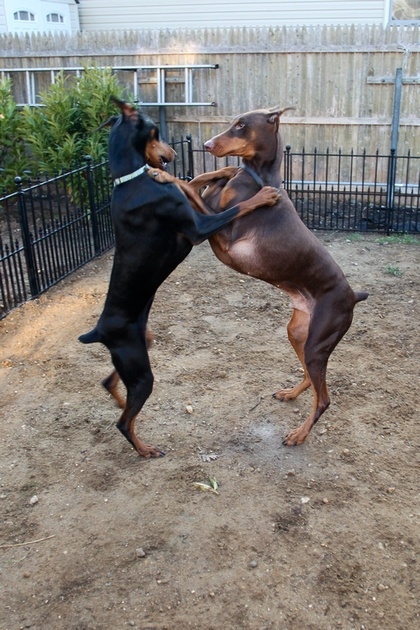 Life span of Doberman Pinscher