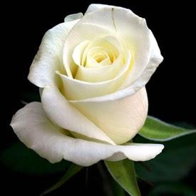 Bunga mawar Putih Besar banyuwangi