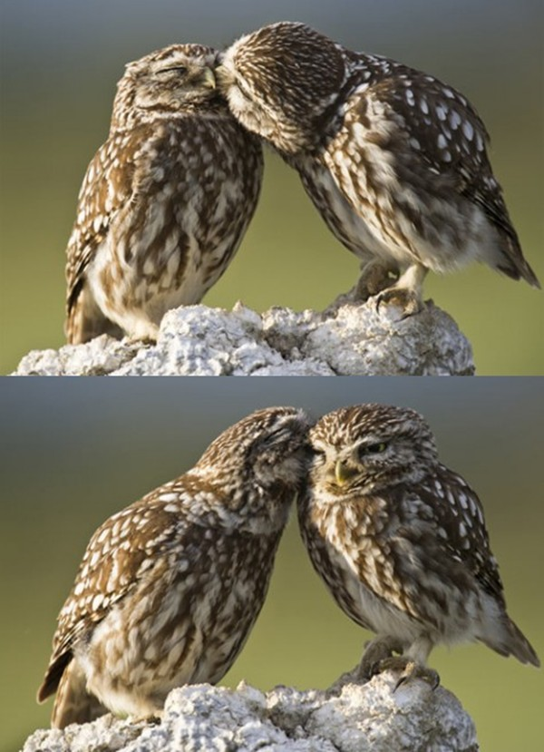 Two cute owls kissing, owl love