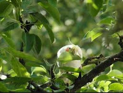 Фото попугаев корелла в природе