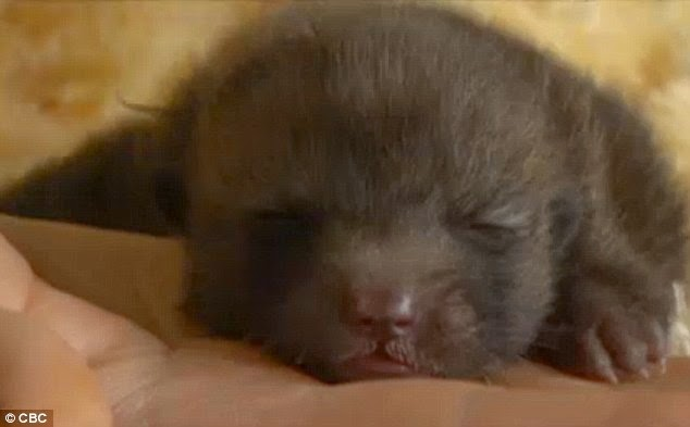 Whitehorse familys rescued puppy turns out to be a fox (Photos - Video)