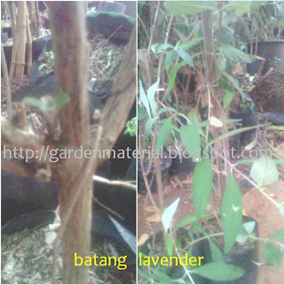 lavenda batang pengusir nyamuk