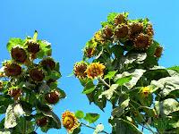 highest sunflowers reaching the sky
