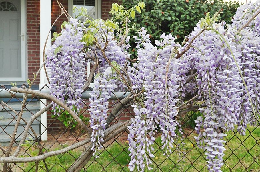 Flowery Fences, Wisteria Fence