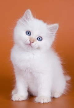Free Wallpapers White Kitten Wallpapers