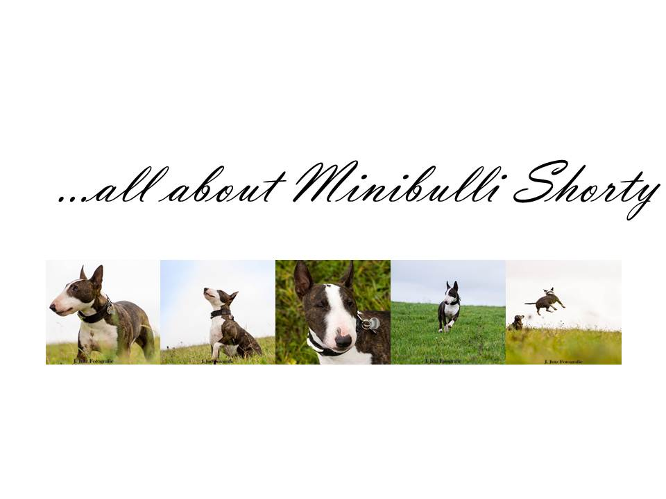 Minibulli Shorty ..|.. Hundeblog