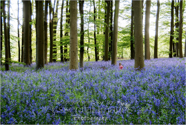 A child looks so small in this fabulous carpet of bluebells
