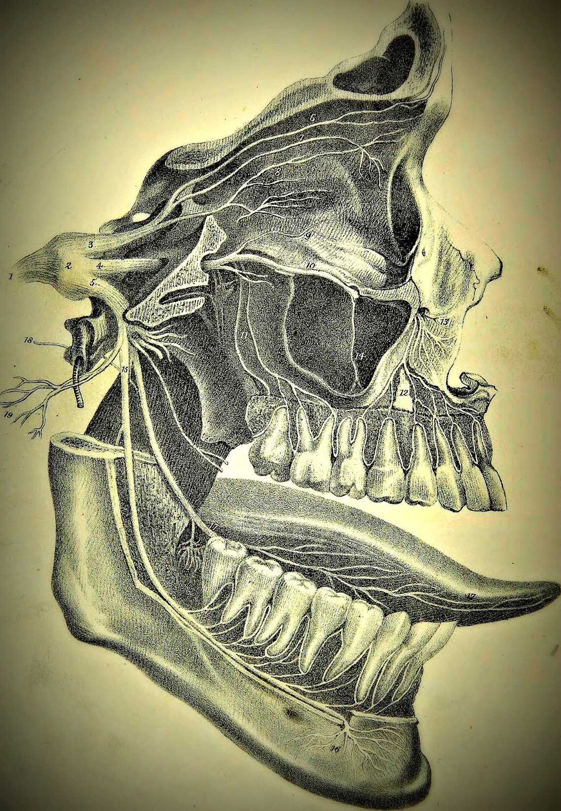 Tooth Germ A Guide To Applied Anatomy In Dentistry