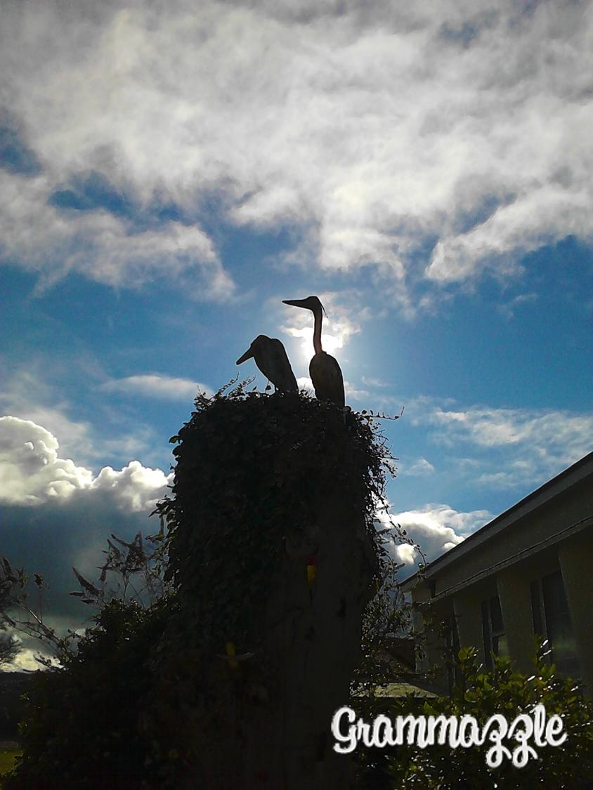 Grammazzle migración aves nido cigüeñas birds