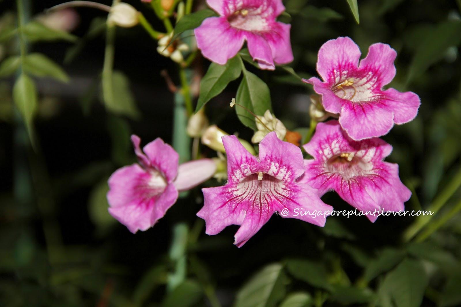 Singapore Plants Lover Todays Flowers Trumpet Vine