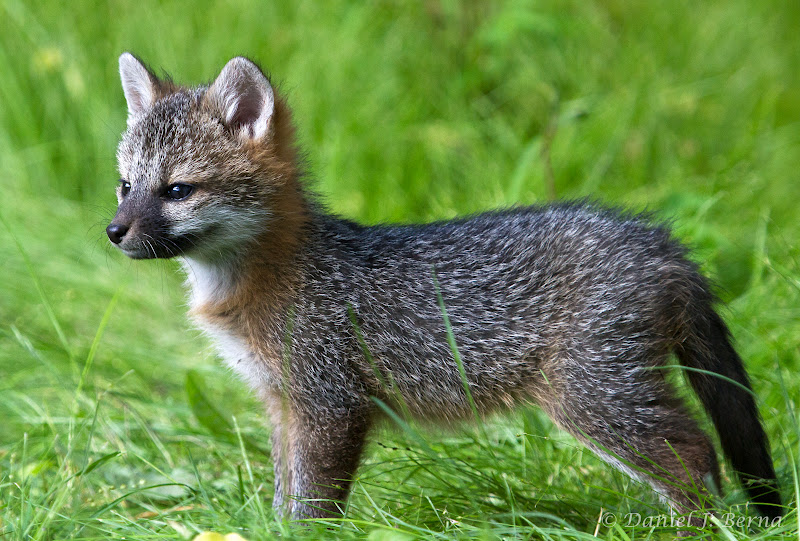 Silver fox kit - photo#2