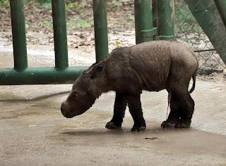 """Nama anak badak sumatera itu """"ANDATU"""""""