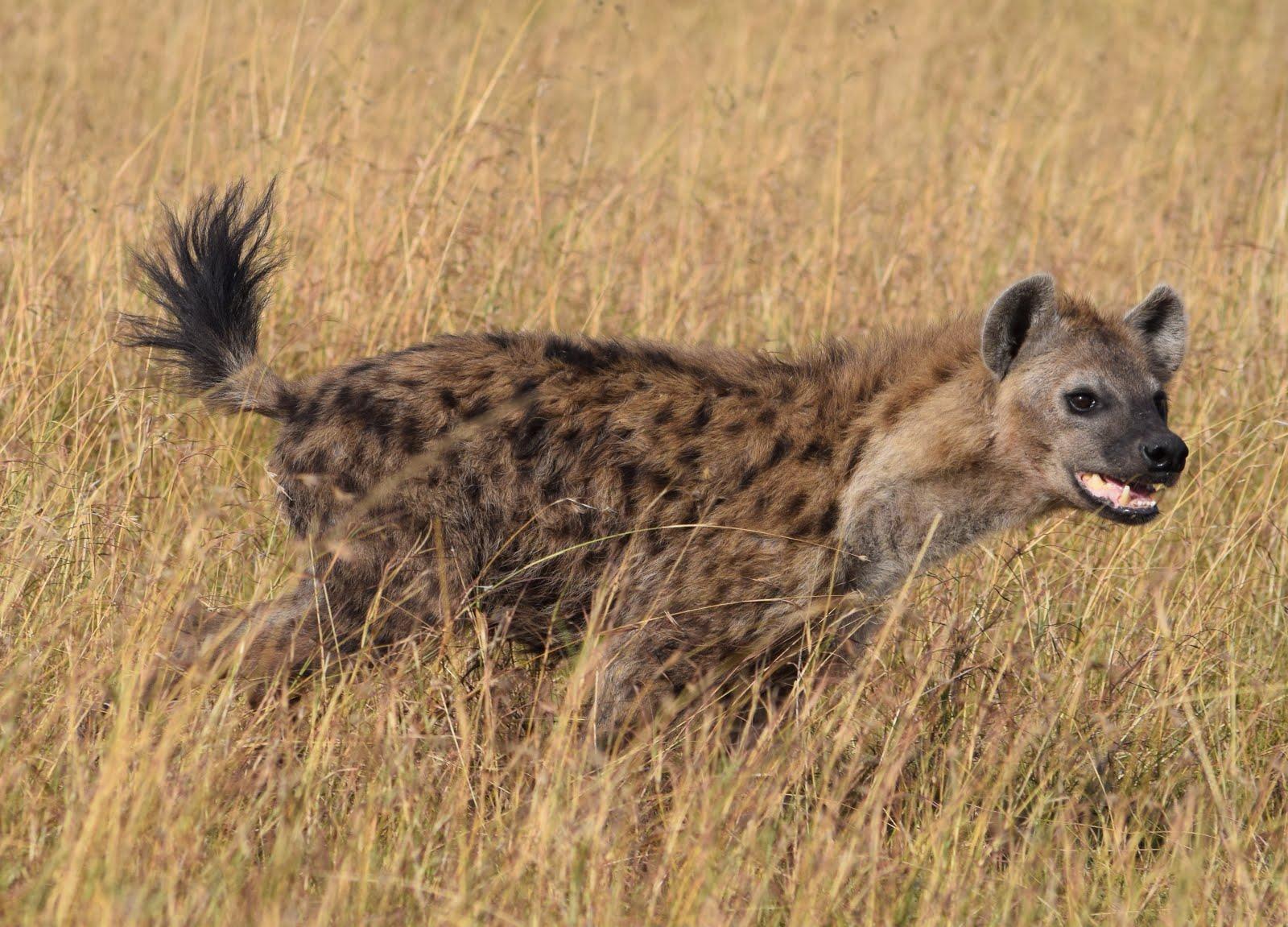 Notes From Kenya: MSU Hyena Research: Brt!!!