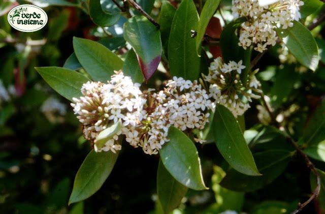 Acokanthera un arbusto profumato ma assai velenoso for Nomi di fiori bianchi profumati