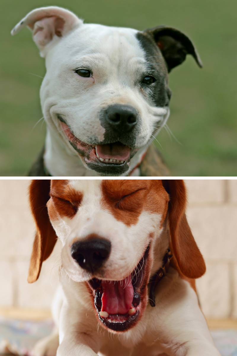 dog facial expressions and communication