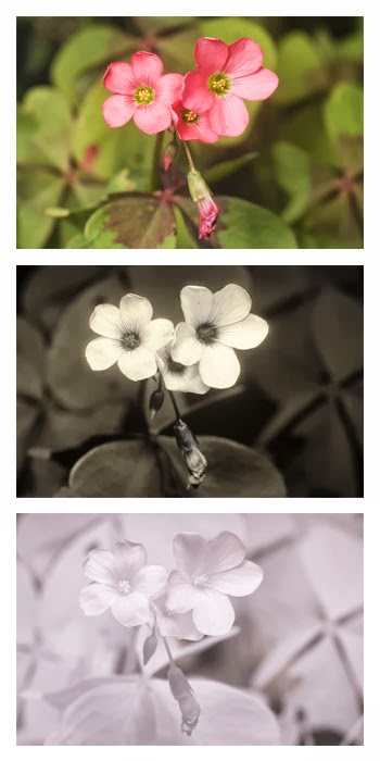 Oxalis tetraphylla (Four-leaved Pink Sorrel) photographed in visible light (top), ultraviolet light (middle), and infrared light (bottom)